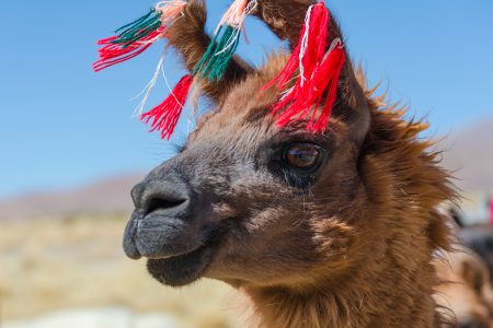 lama, Bolivie