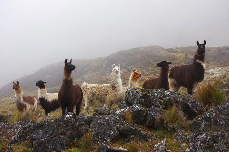 lamas en liberté dans les Andes