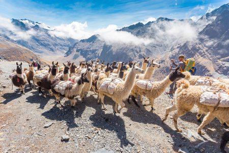 caravane de lamas, cordillère Royale