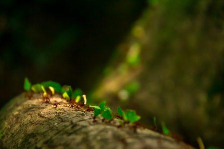 Siera Nevada de Santa Marta, fourmis