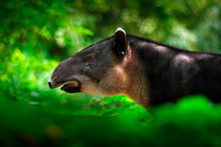 tapir dans la Sierra Nevada