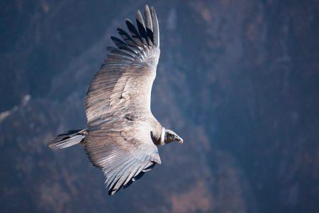 Pérou, condor