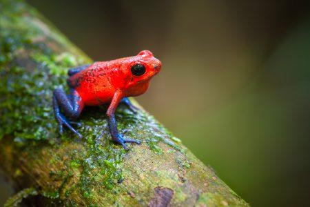 Costa Rica, grenouille