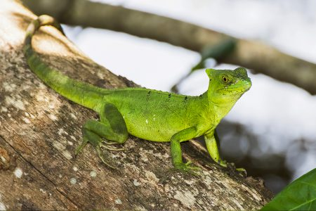 Costa Rica, lézard