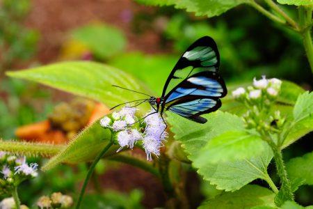 Costa Rica, papillon