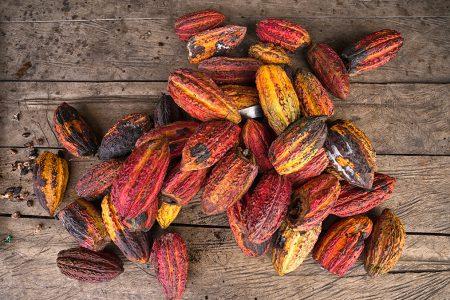 récolte de cacao en Equateur