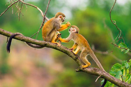 singes capucins en Equateur