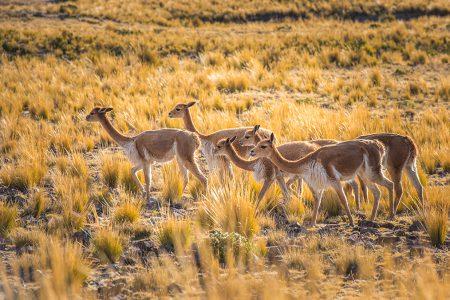 vigognes dans les Andes équatoriennes