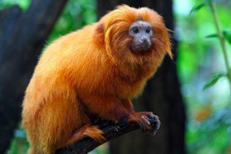 mico leao dourado dans la mâta atlantica