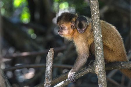 singe dans la mangrove du rio Preguiças