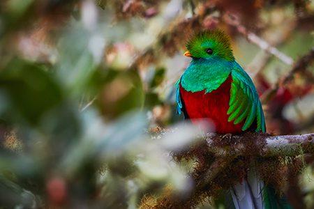 quetzal, oiseau symbole du Costa Rica