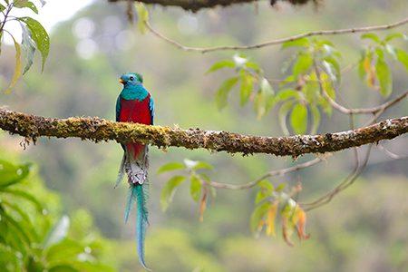 quetzal mâle, Costa Rica