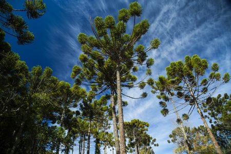 araucarias dans la Serra da Bocaina