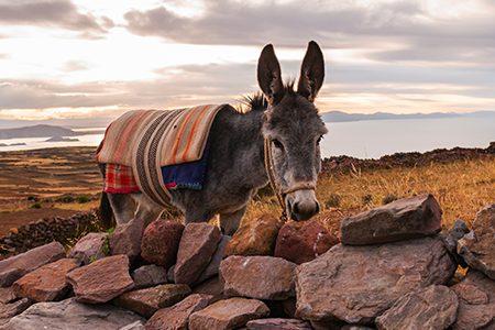 âne sur les berges du lac Titicaca