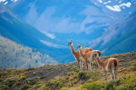 vigognes en Patagonie